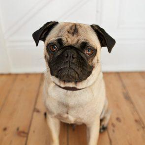 Wide-angle POV portrait of cute Puck dog