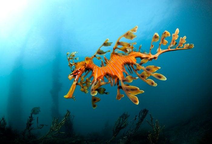 Leafy sea dragon in South Australia 2