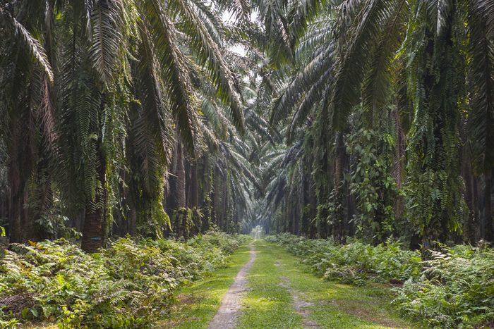 Path in an oil palm plantation, near Bukit Lawang, Sumatra, Indonesia