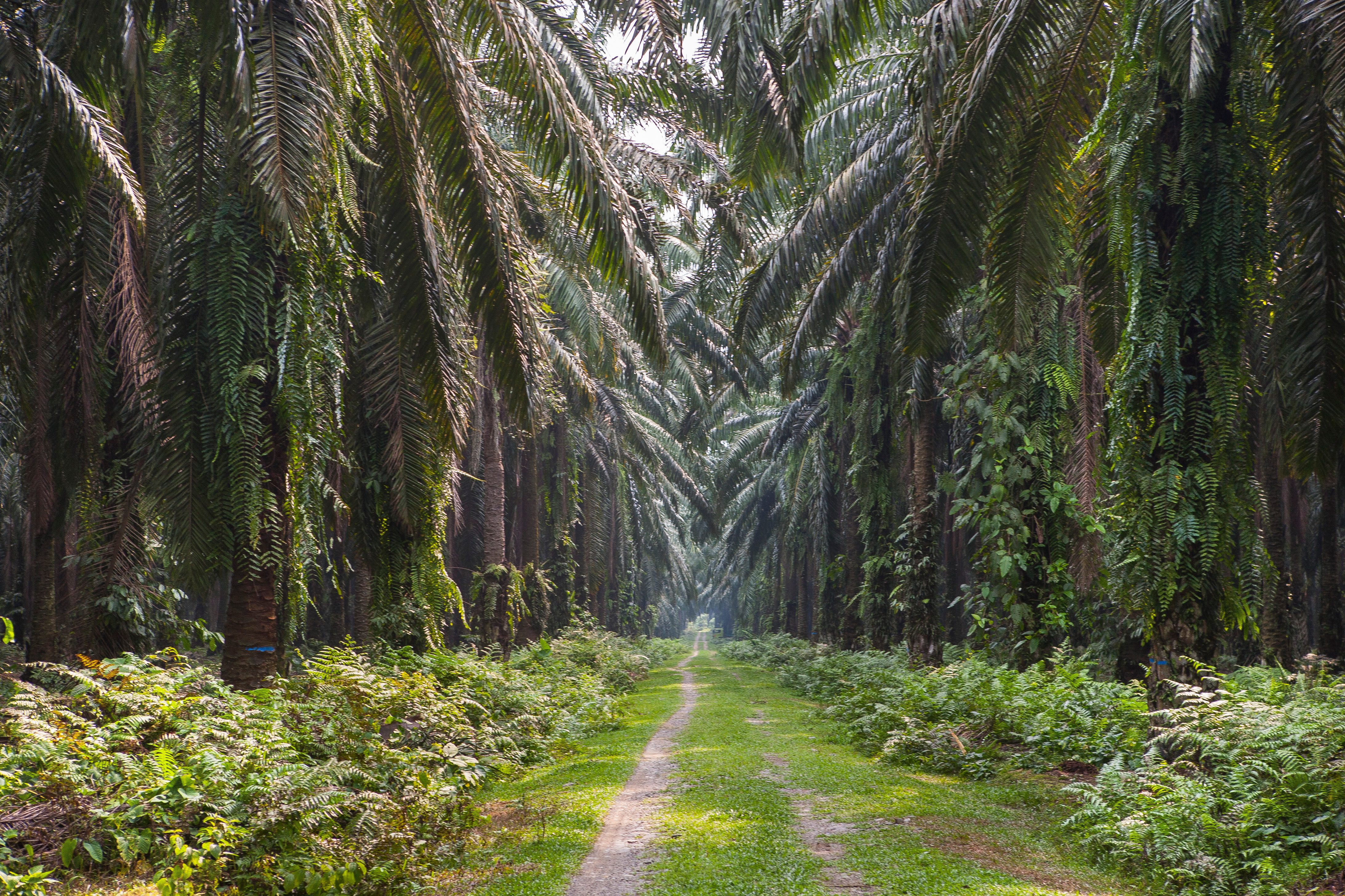 Path in an oil palm plantation, near Bukit Lawang, Sumatra, Indonesia
