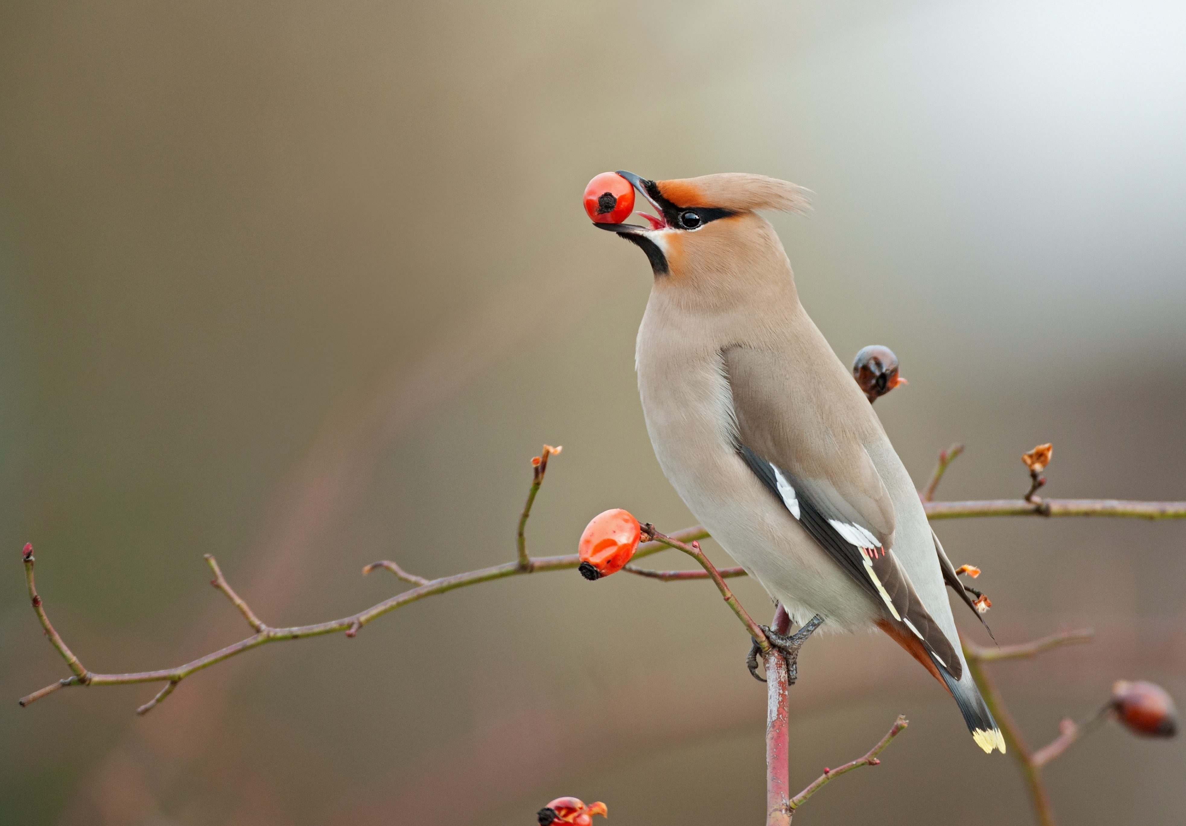 Bohemian waxwing perching on a dogrose