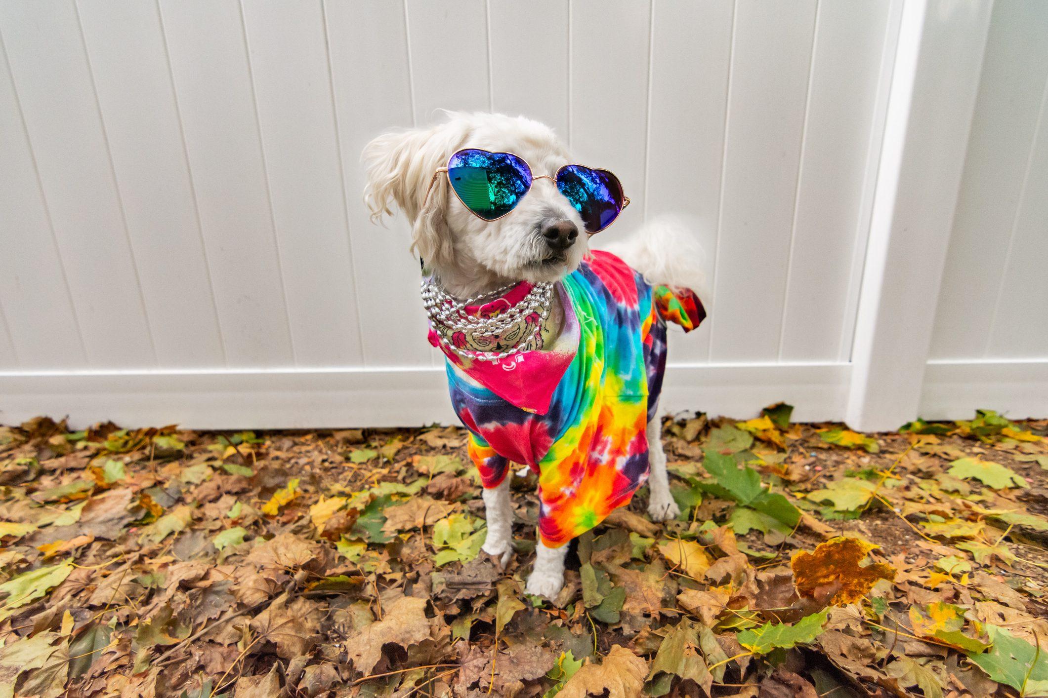 Dog dressed up like a hippie