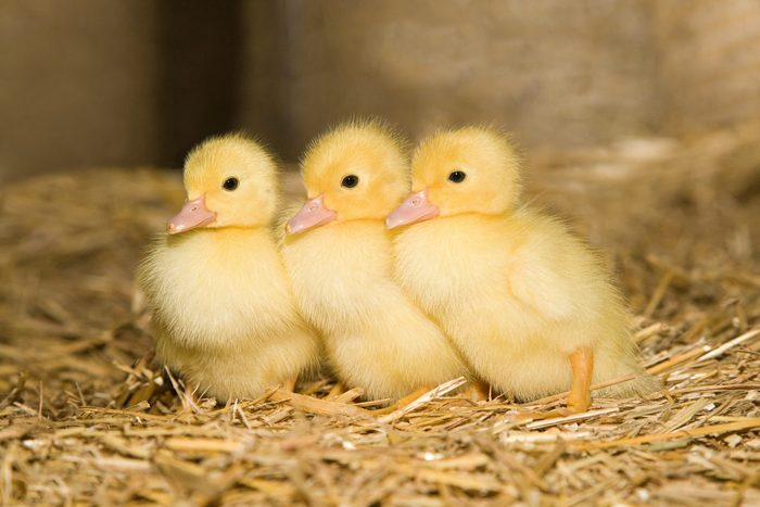 Three ducklings on straw