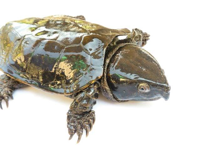 "Turtle ""Platysternon megacephalum"" on a white background,Is a freshwater turtle, carnivorous, Platysternon megacephalum."
