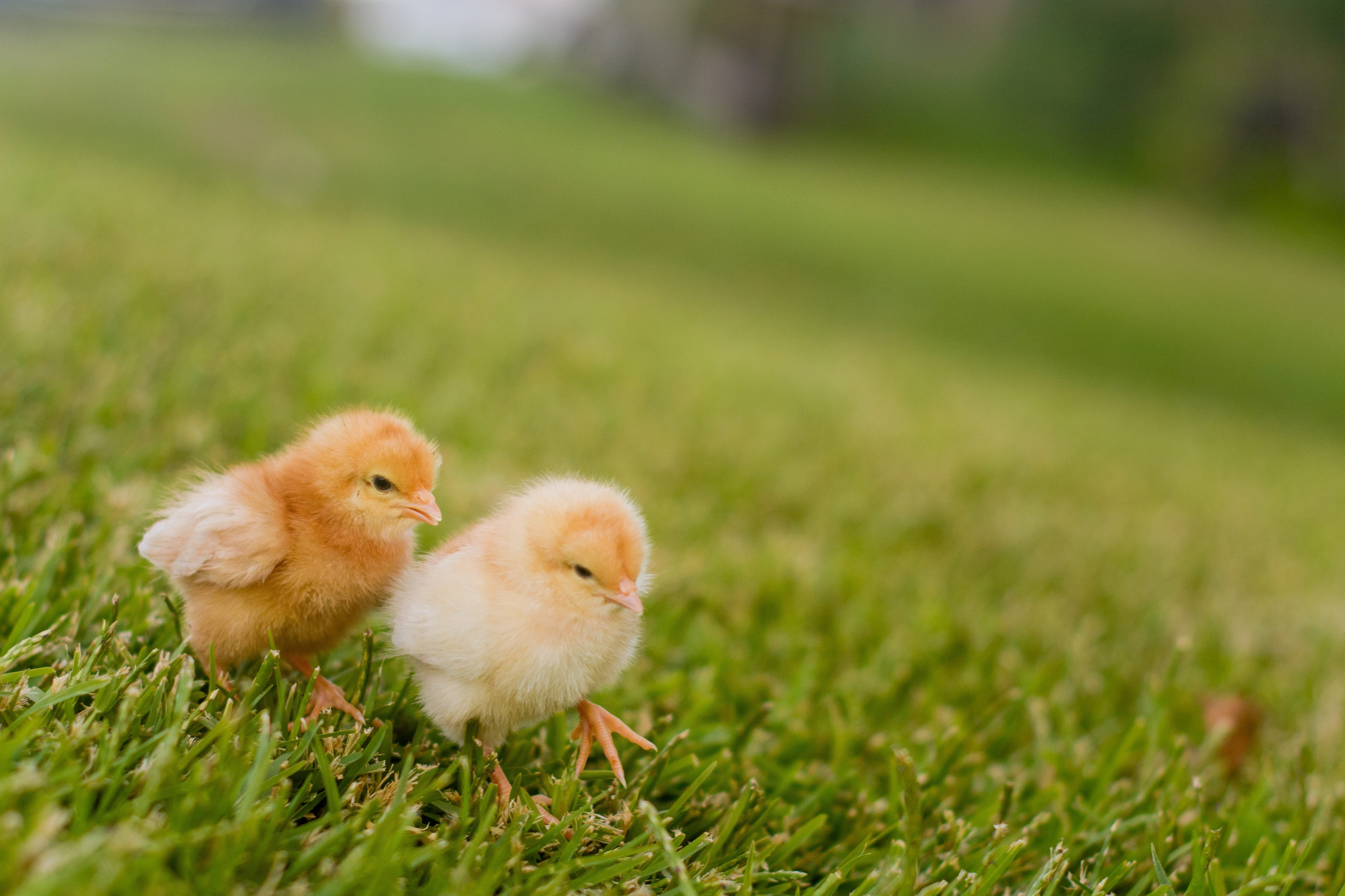 Two chicks sitting on grass