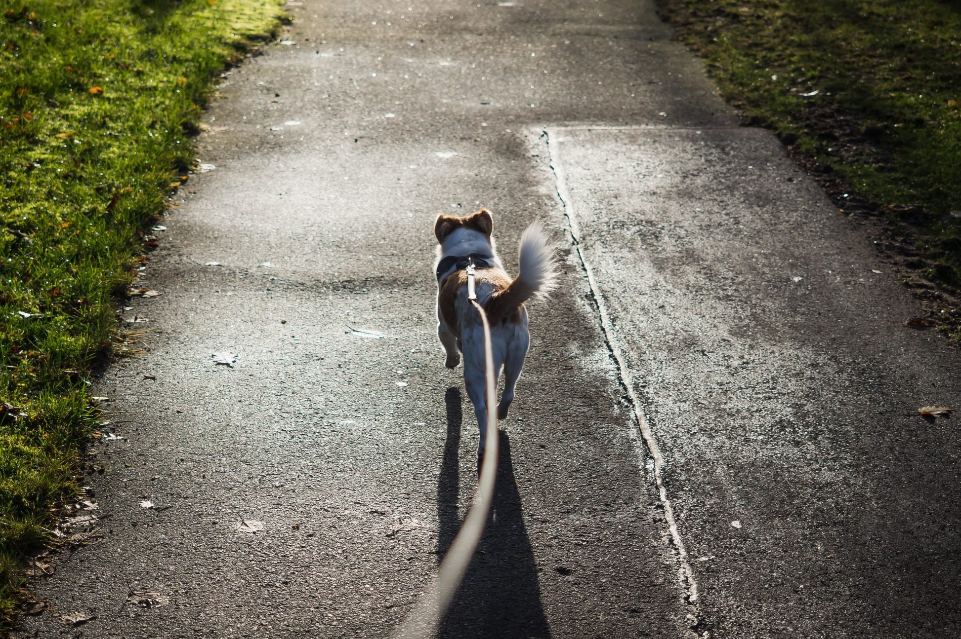 High Angle View Of Dog On Leash On Road