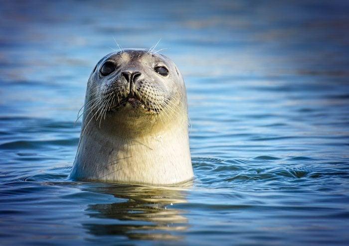 Adorable Harbor Seal Looking at Camera at Robert Moses State Park, Long Island