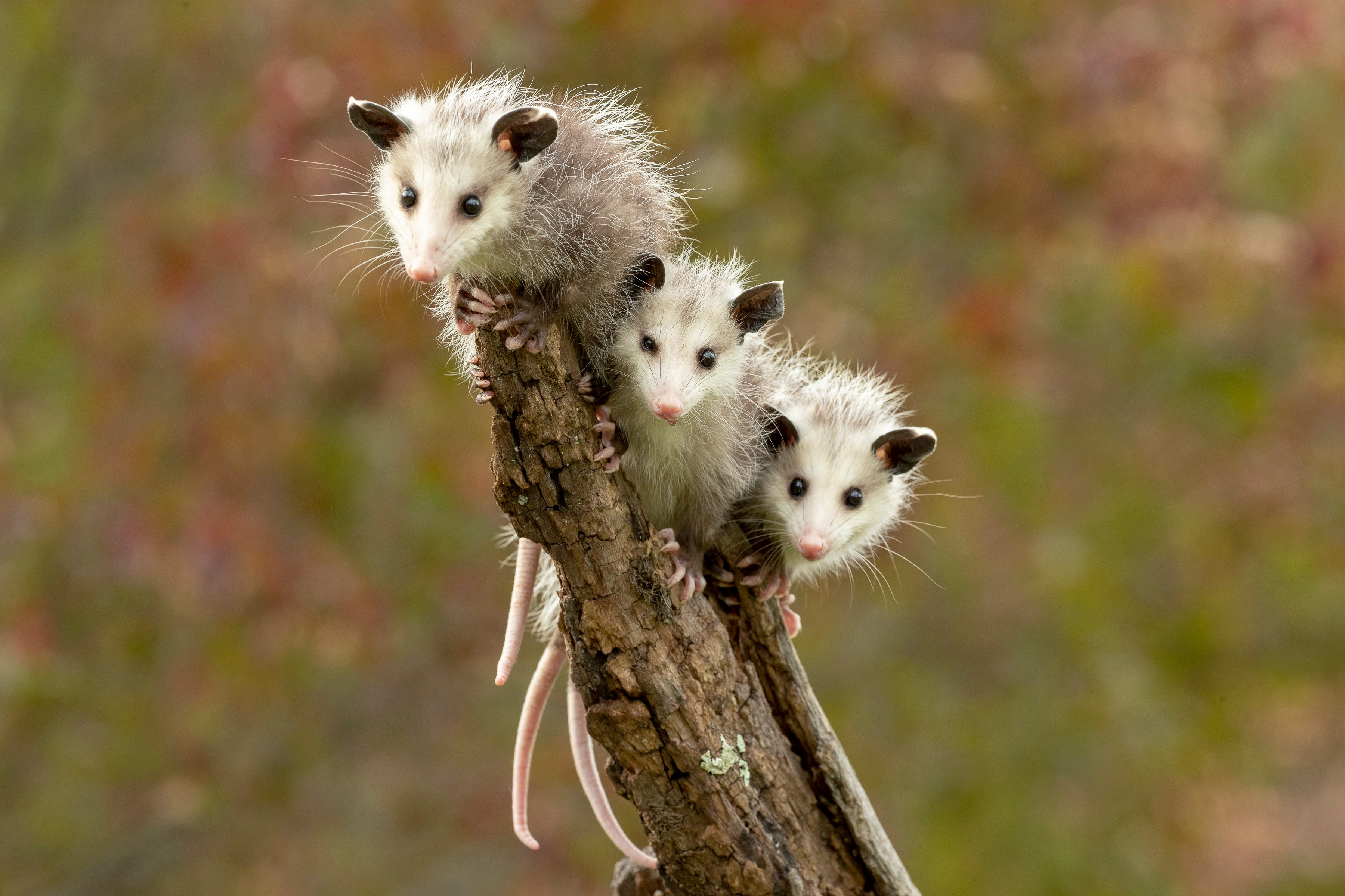 Virginia Opossum babies on stick hanging out