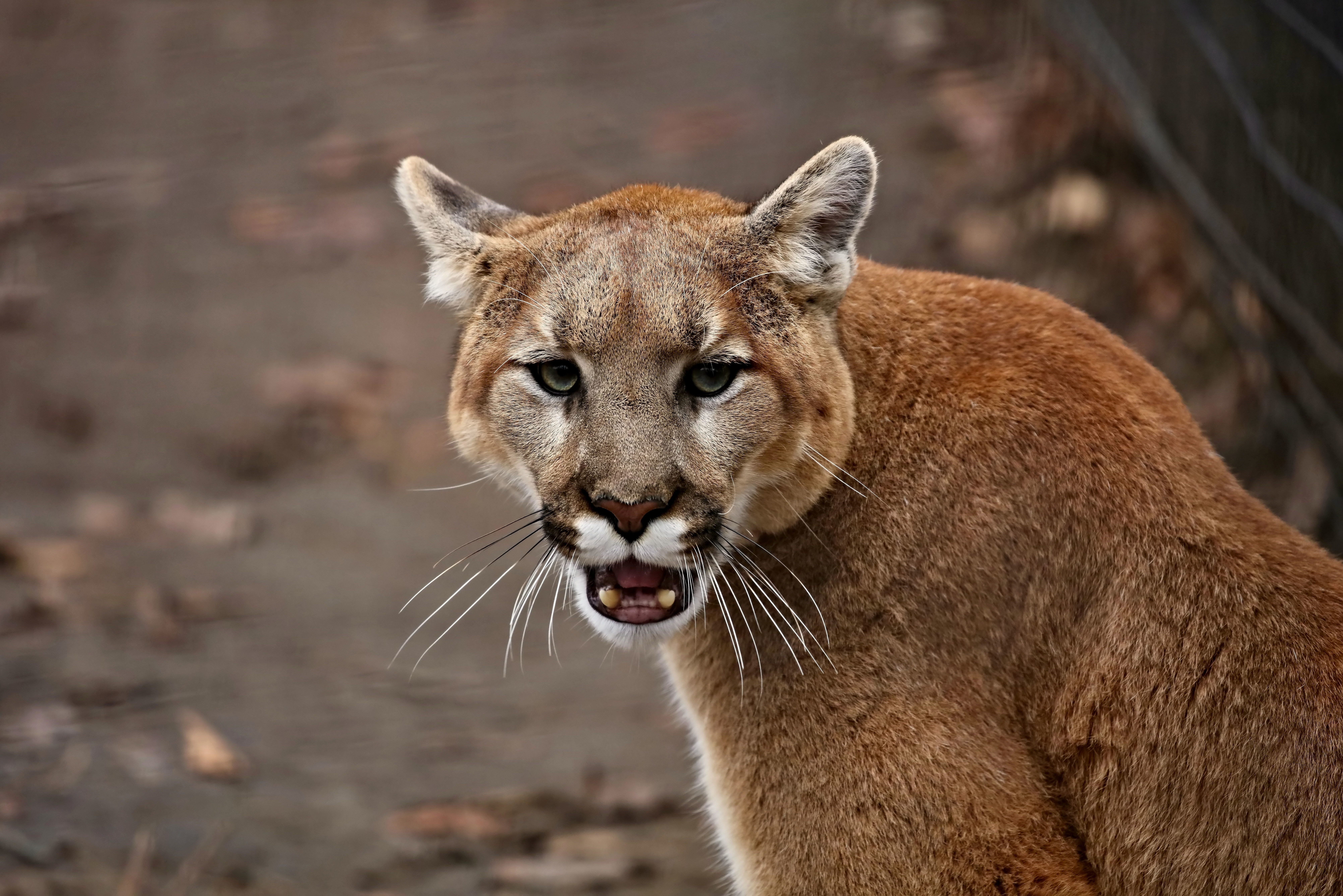 The cougar (Puma concolor) in the ZOO