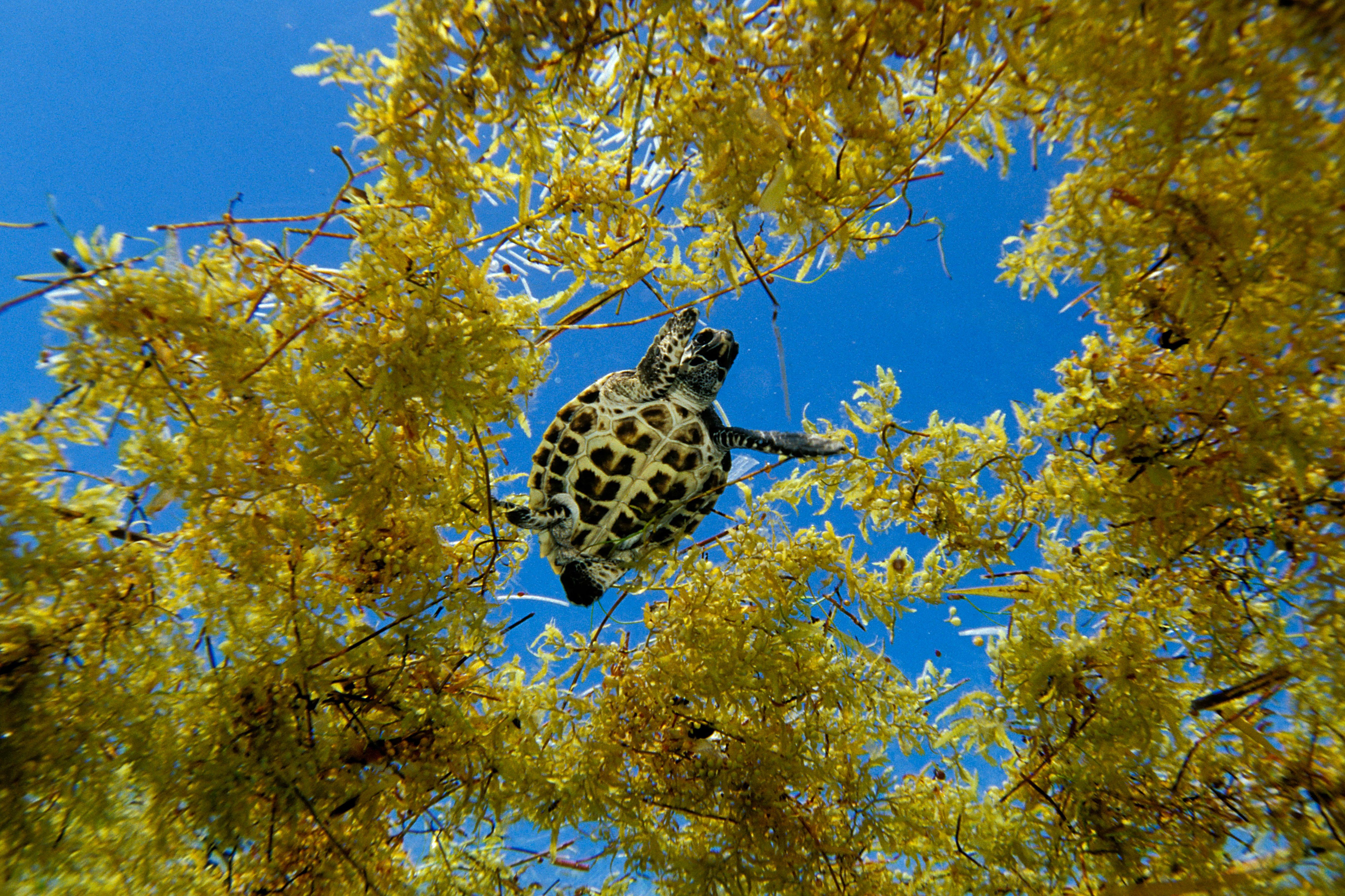 Hawksbill turtle in sargassum weed
