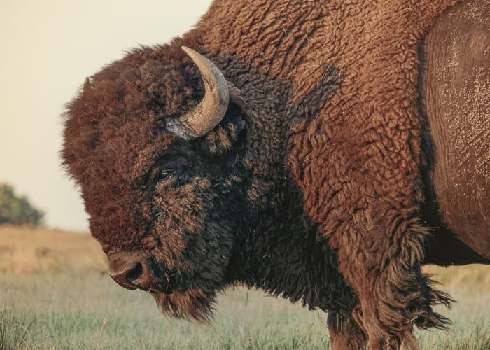 American Bison Standing On Field