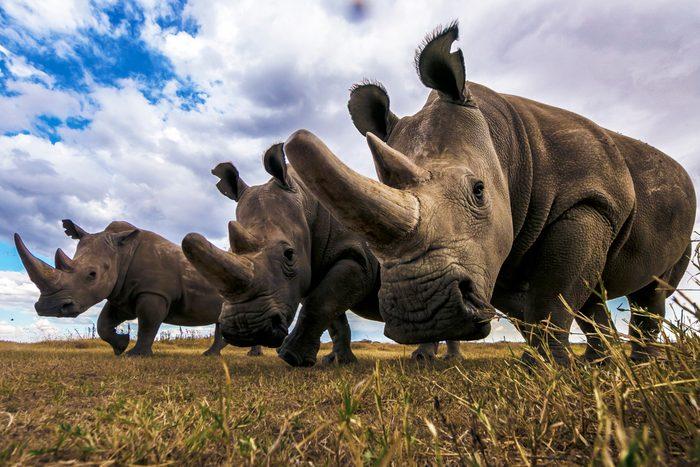 Rare Northern white rhinos in Laikipia savanna.
