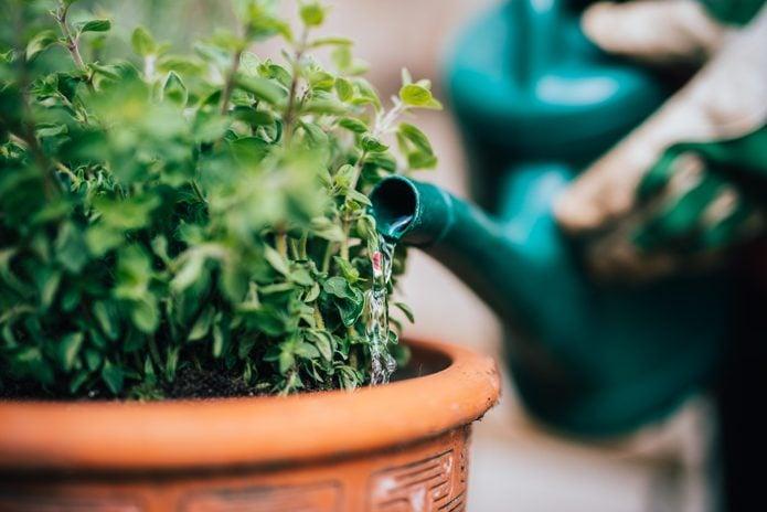 Watering fresh planted herbage.