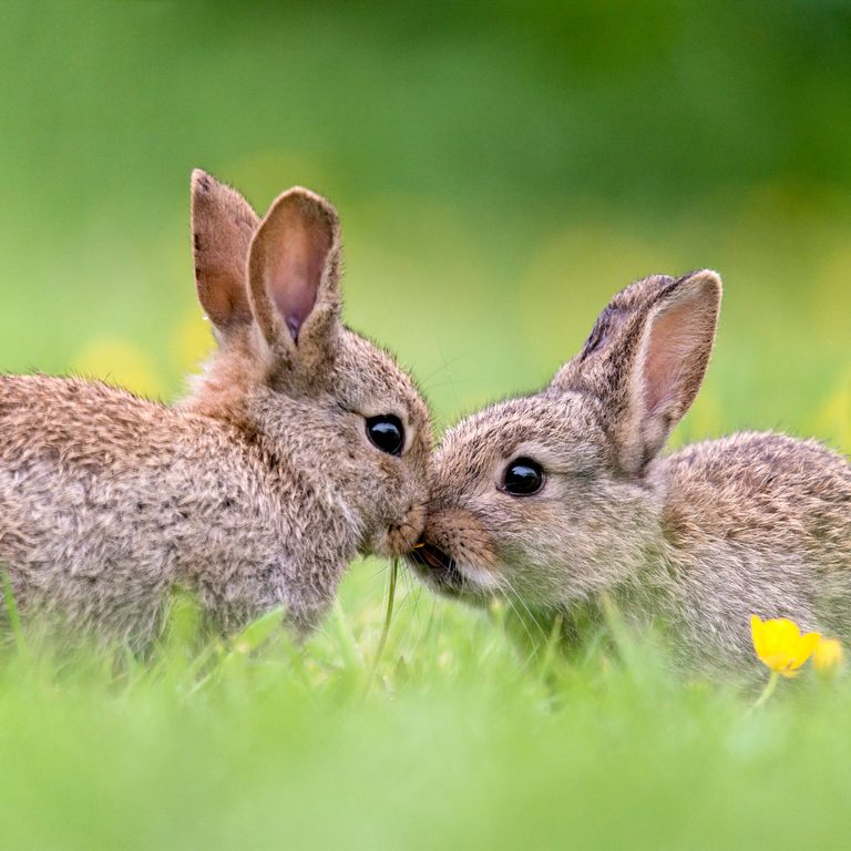 Two Baby Wild Rabbits Kissing