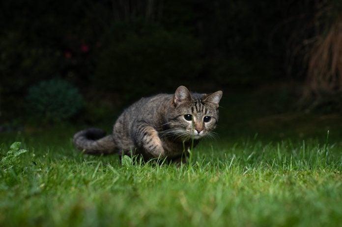 cat hunting at night