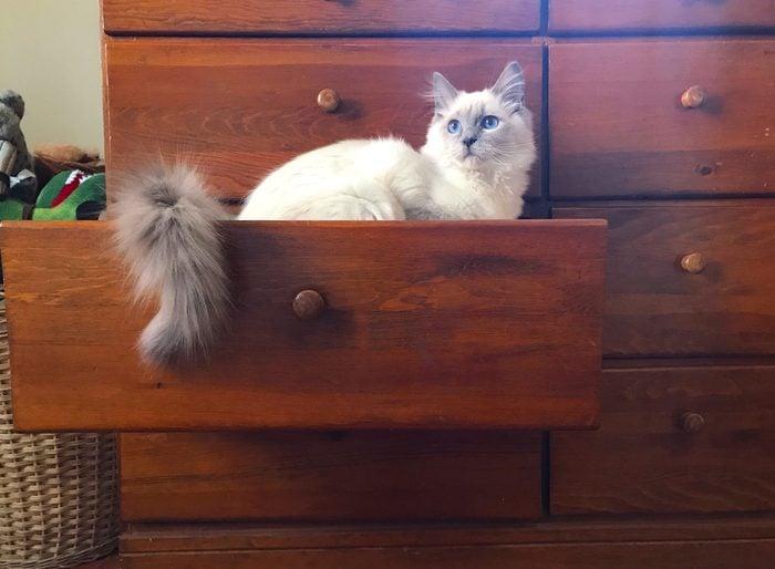 White Ragdoll Kitten in a Dresser Drawer