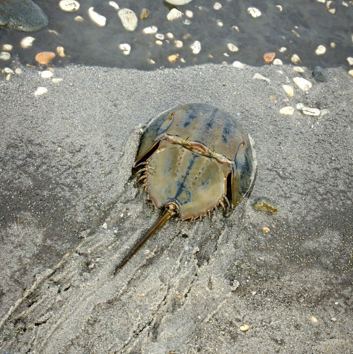 Horseshoe Crab Heading to the Water after Laying Eggs