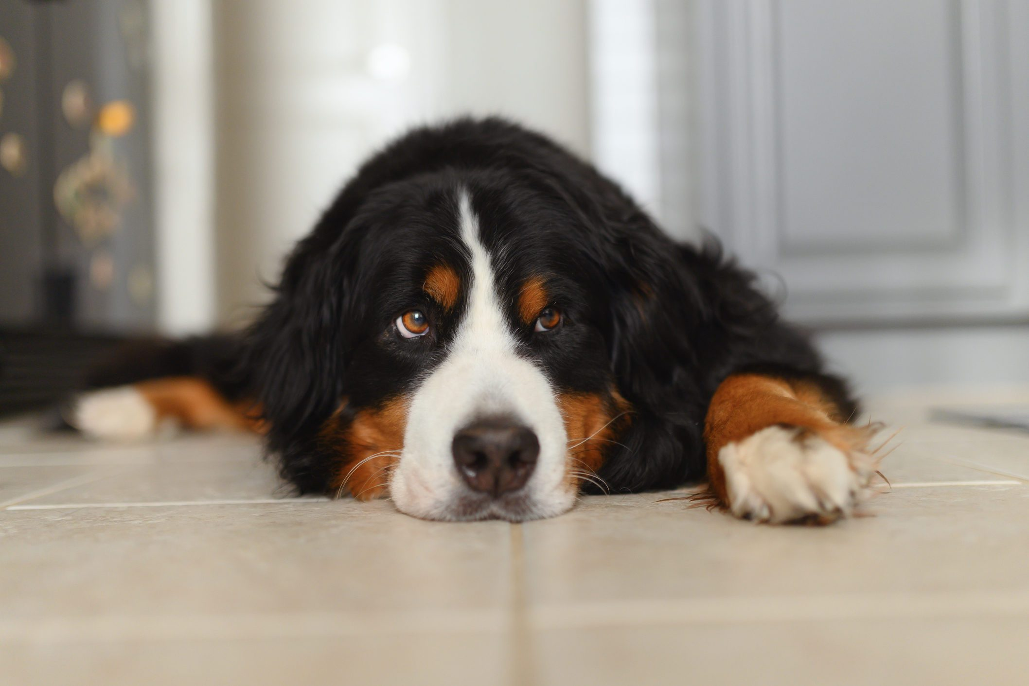 A Bernese Mountain Dog Lounges at Home in the Kitchen