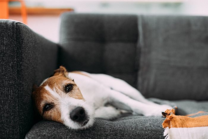 Dog lying on sofa at home, looking ill and sad