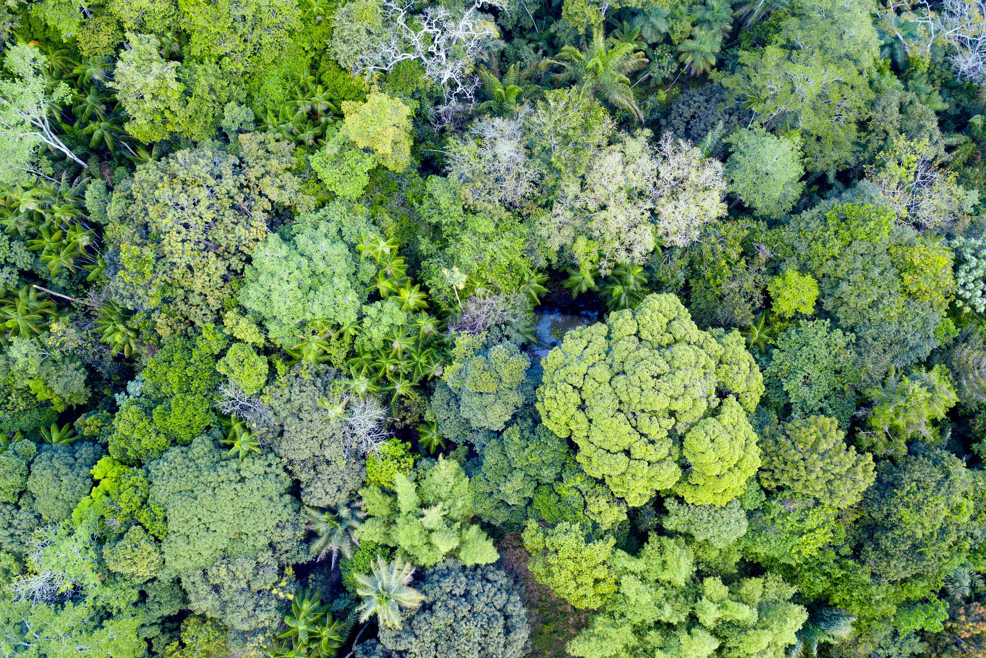Aerial View Of Treetops In Amazon Rainforest
