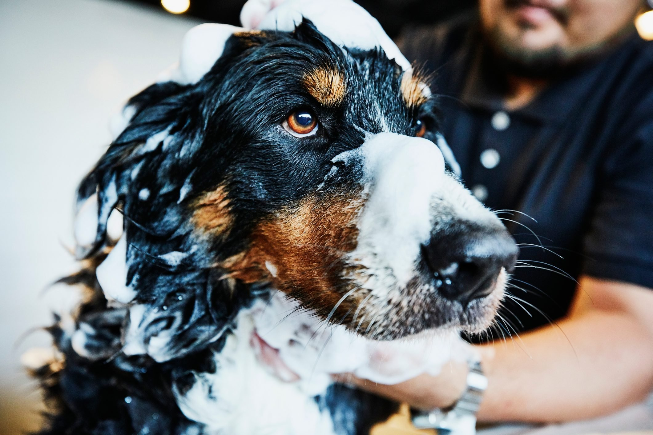 Dog with soap bubbles on head being washed by groomer in pet shop
