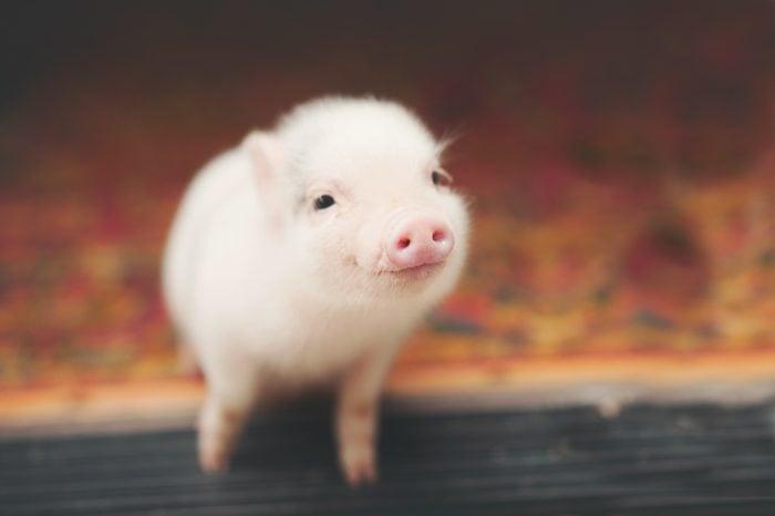 pig smiling on a doorstep