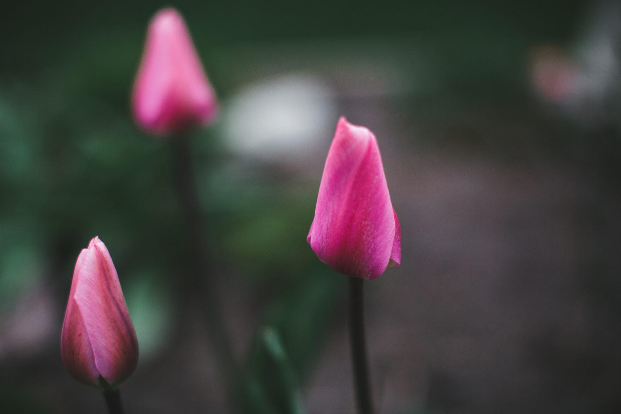 Tulips buds
