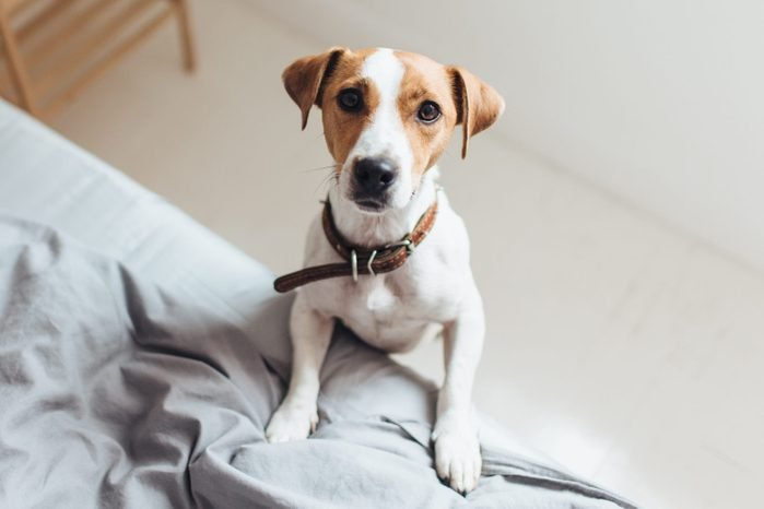 Curious dog on bed looking at camera
