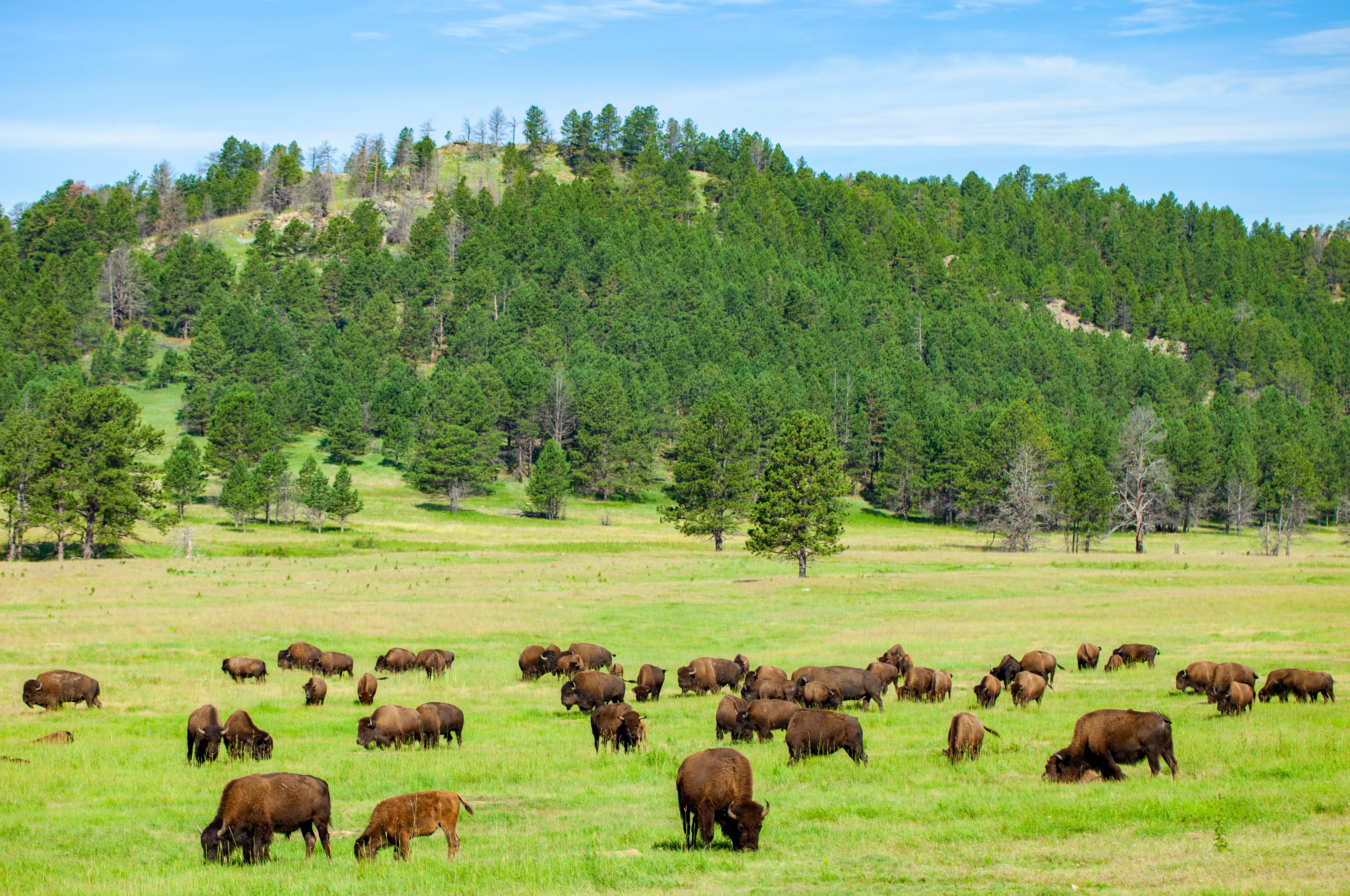 Bison In Wind Cave National Park