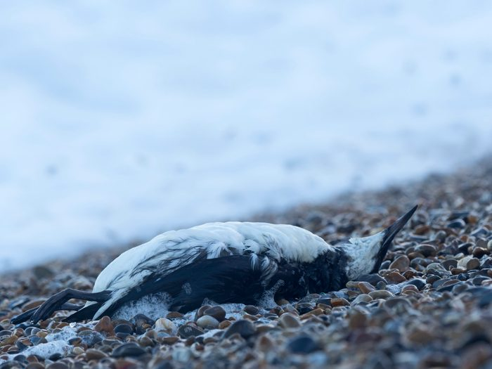 Common Guillemot or Murre, Uria aalge, washed up dead on beach after storm Norfolk