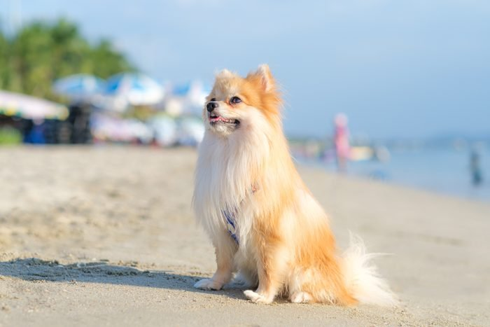 Close up of a cute pomeranian dog on the beach during a sunny day .