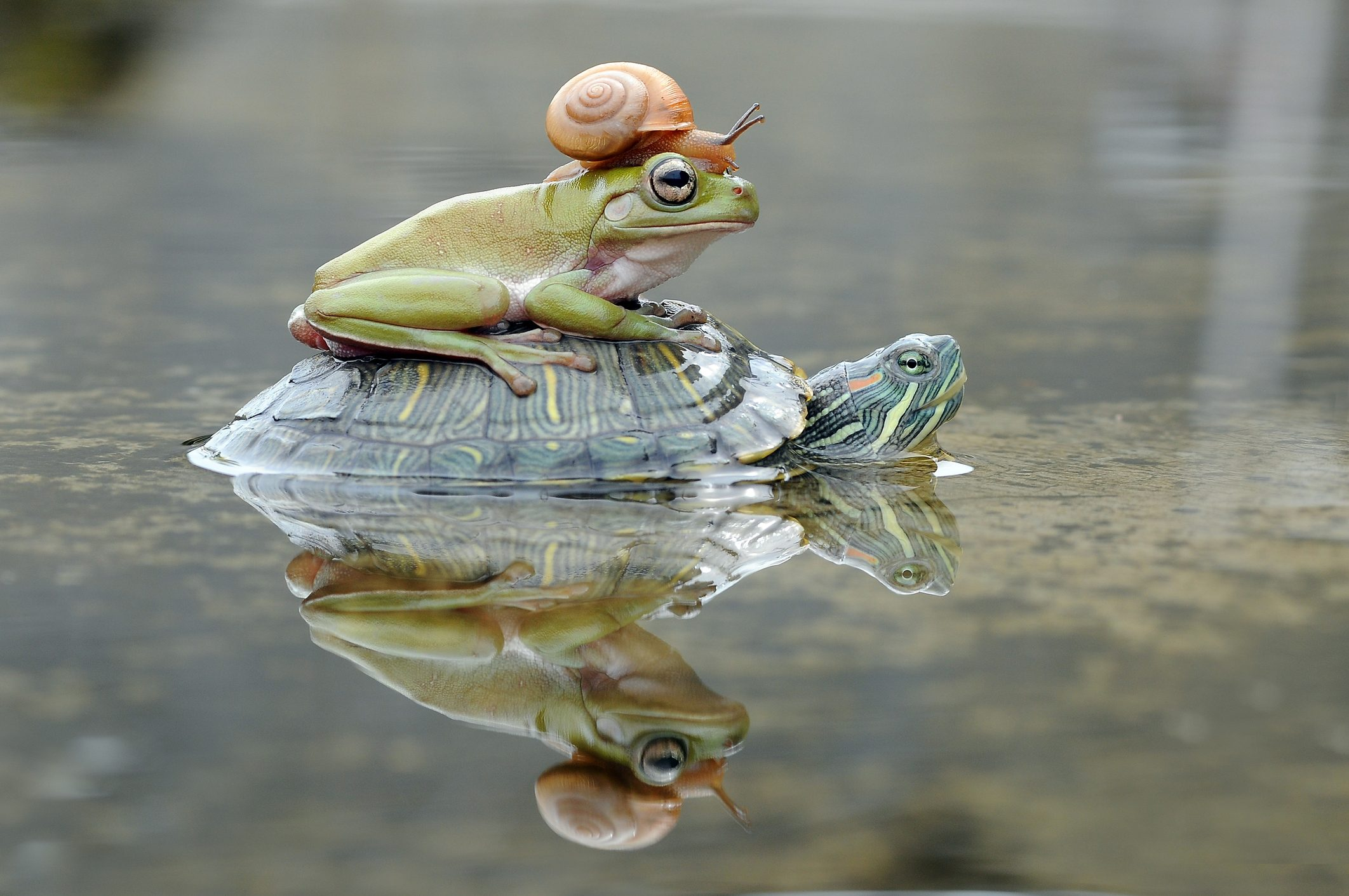Frog and a snail on a turtle, Indonesia
