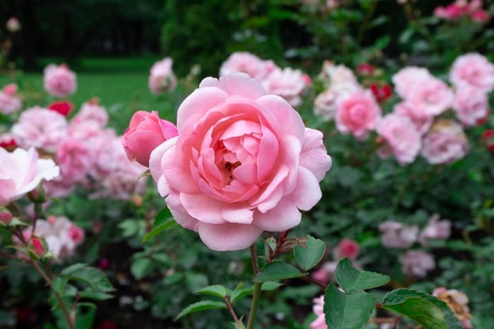 Beautiful and delicate pink tea roses in the garden on green bushes.