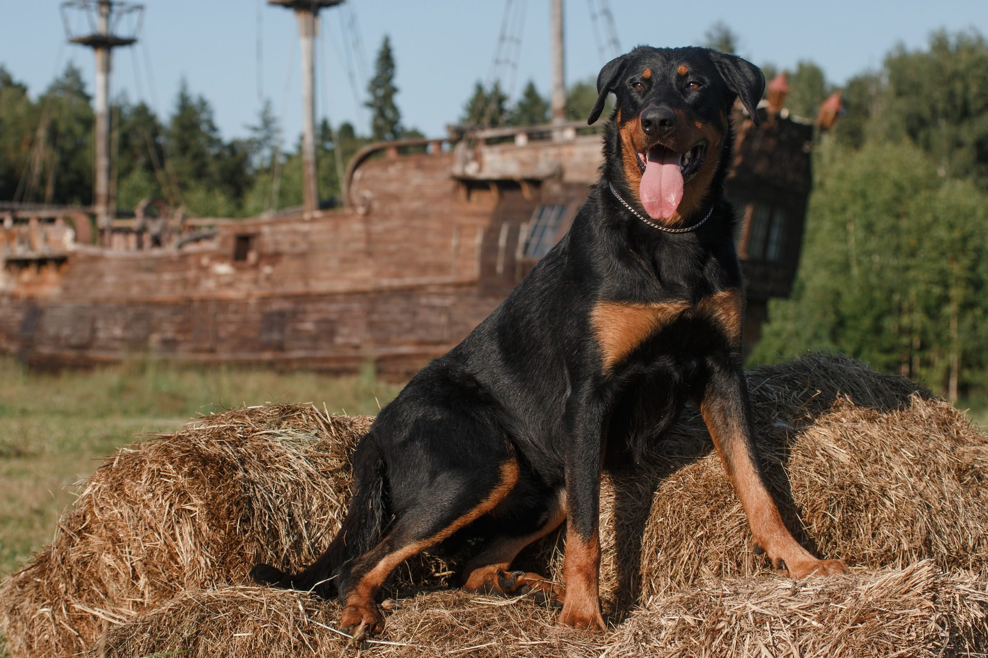 black big dog of the breed beauceron (french shepherd) lies on the hay