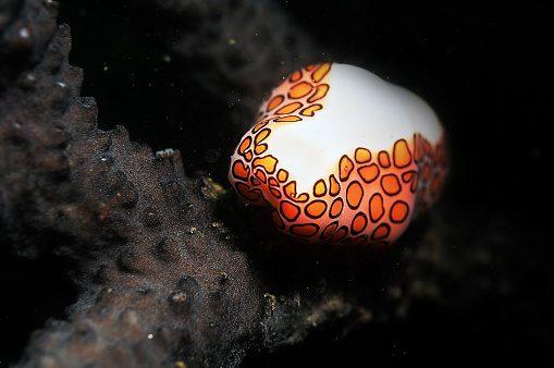 Flamingo tongue snail Wildlife Ocean
