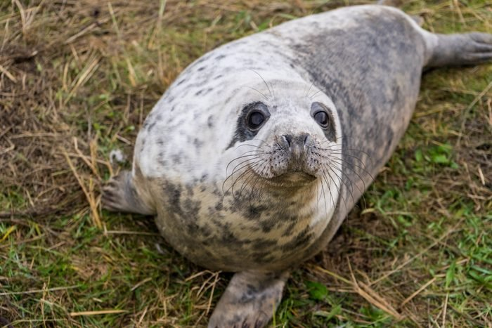 A Friendly Seal Looking Into The Camera Lens While Resting On The Grass