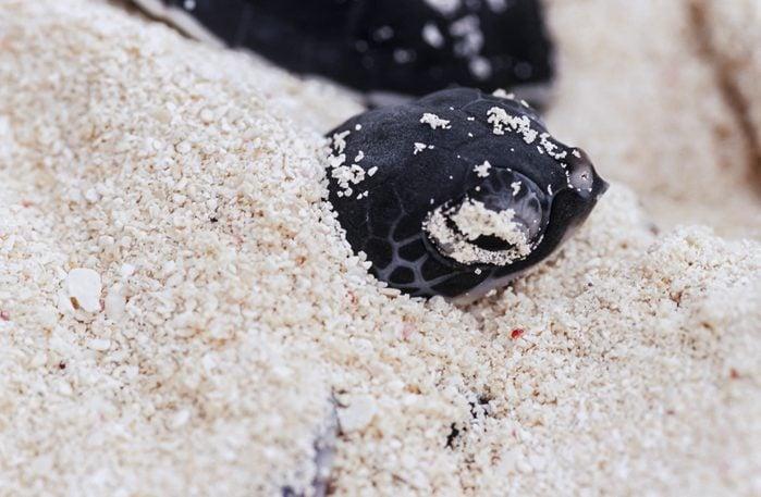 Hatchling sea turtle