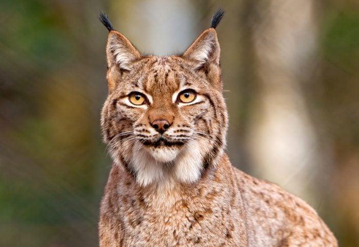 Portrait of Lynx