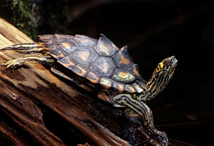 Yellow-blotched Map Turtle, Graptemys flavimaculata, Mississippi, USA