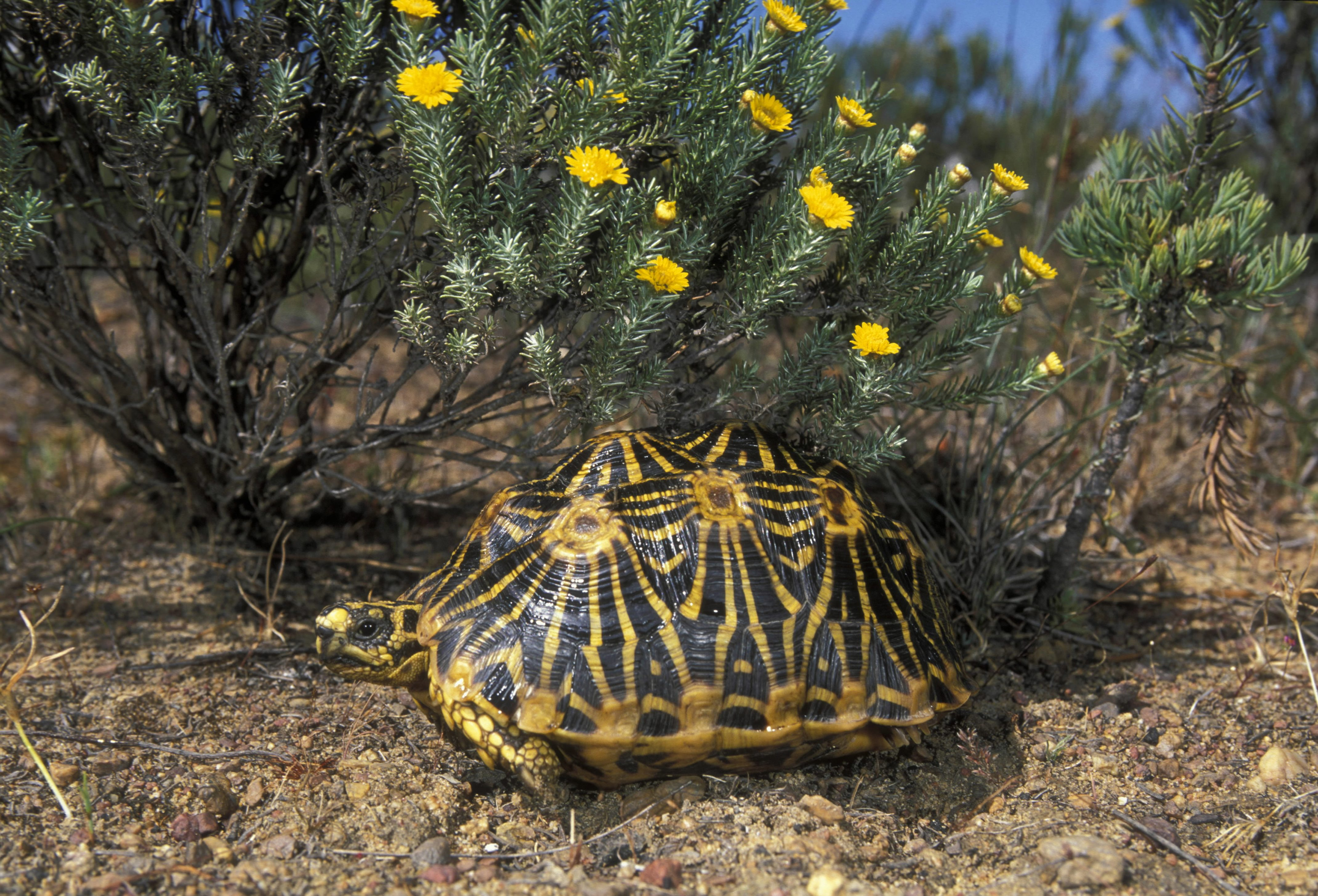 ENDANGERED AND FYNBOS ENDEMIC GEOMETRIC TORTOISE, PSAMMOBATES GEOMETRICUS, SOUTH AFRICA RAREST TORTOISE IN AFRICA