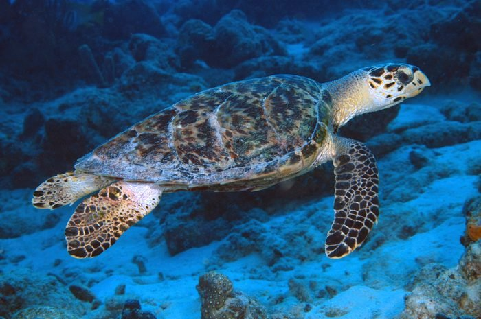 Swimming hawksbill sea turtle, Eretmochelys imbricata The overhanging upper jaw resembles the beak of a hawk, giving this turtle its common name Curacao, Netherlands Antilles Digital Photo (horizontal)