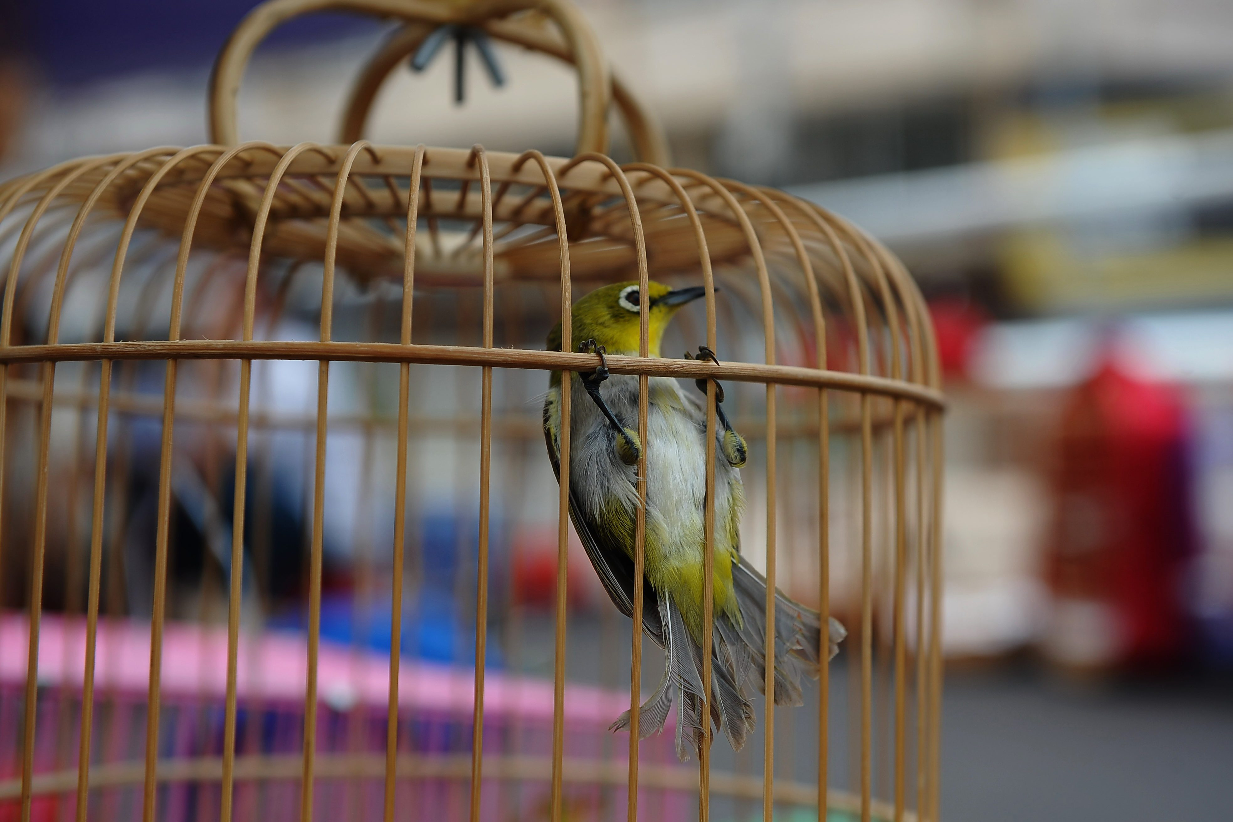 A cage with a wild leafbird inside for