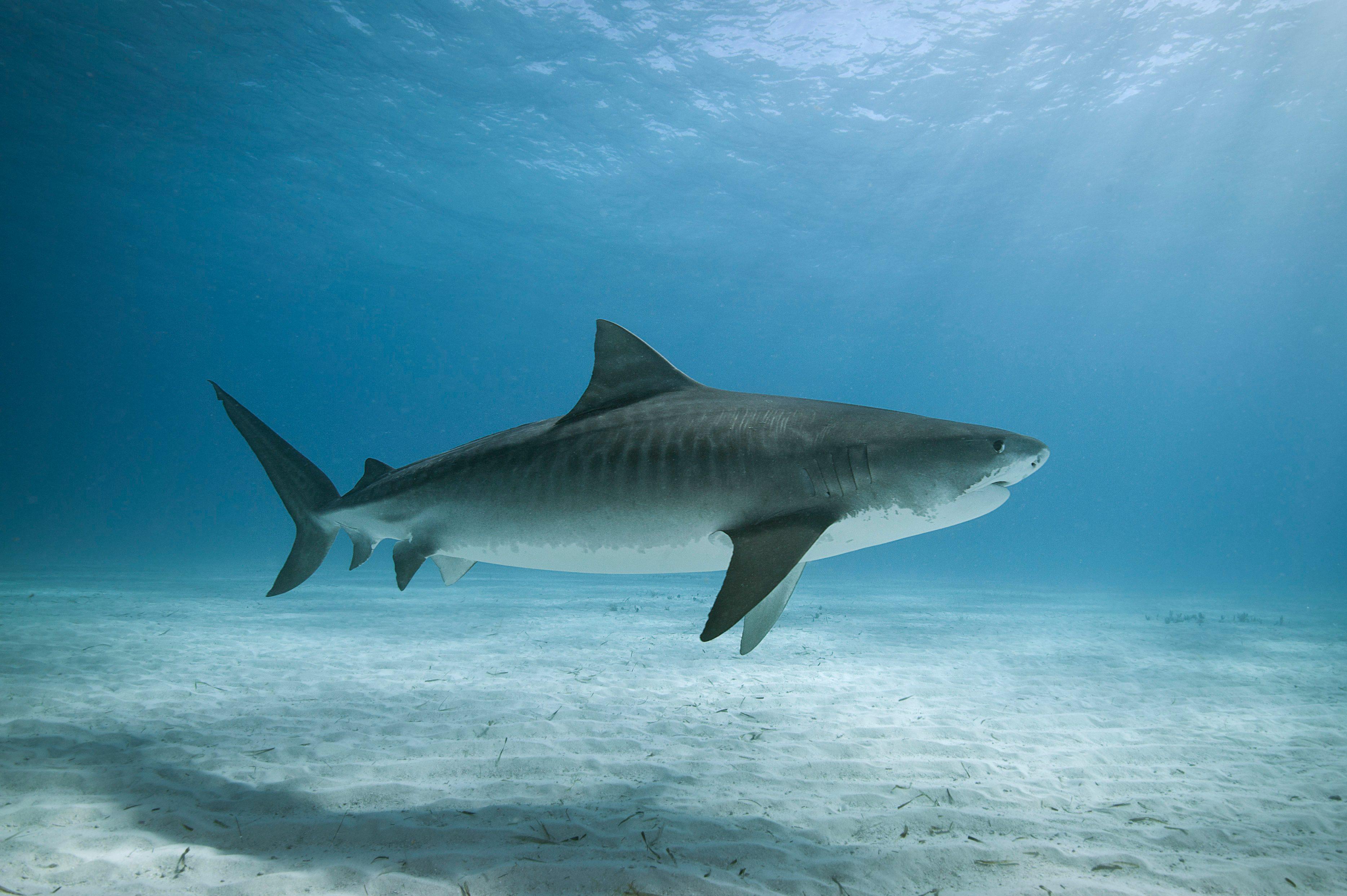 Tiger shark in water