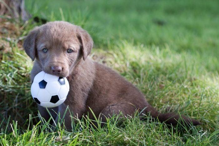 Chesapeake Bay Retriever Puppy with Toy Ball