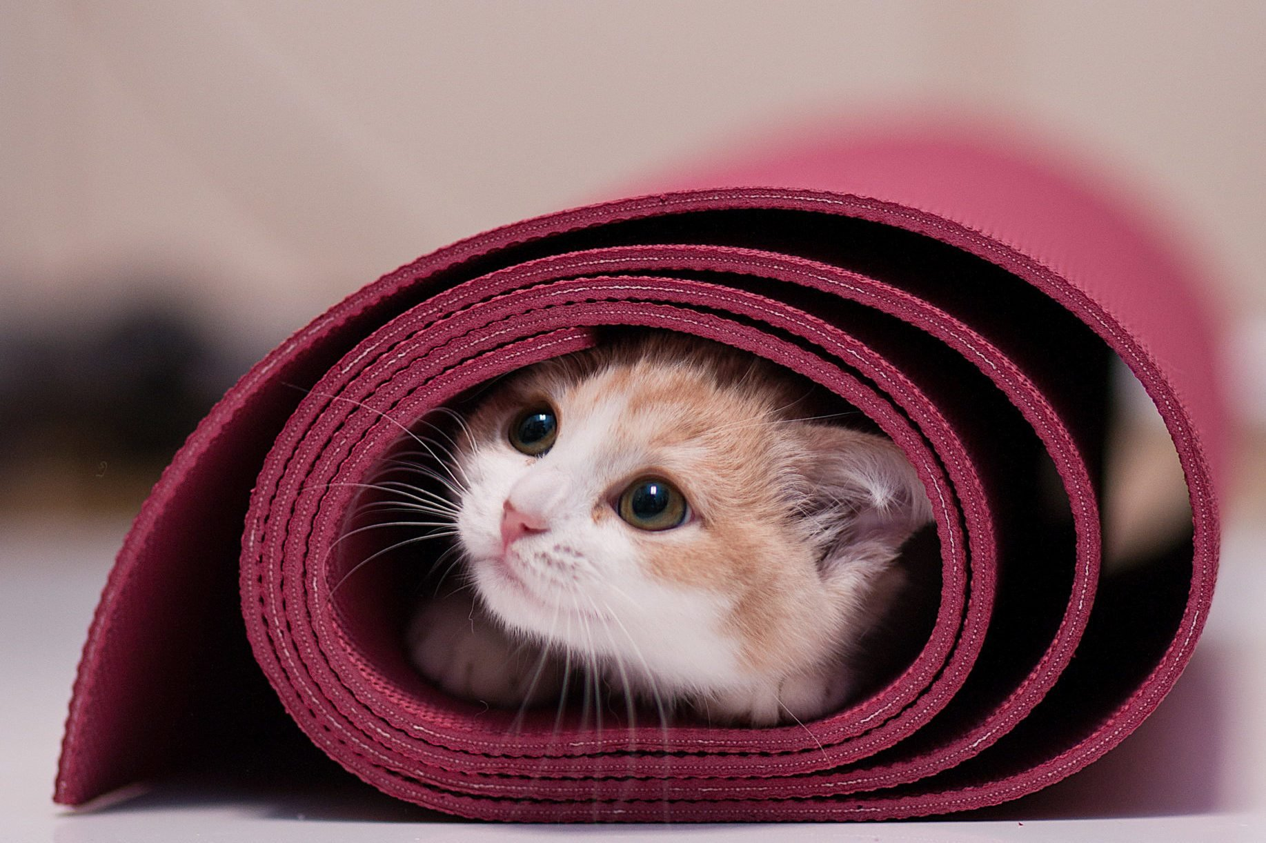 Kitten in rolled up yoga mat
