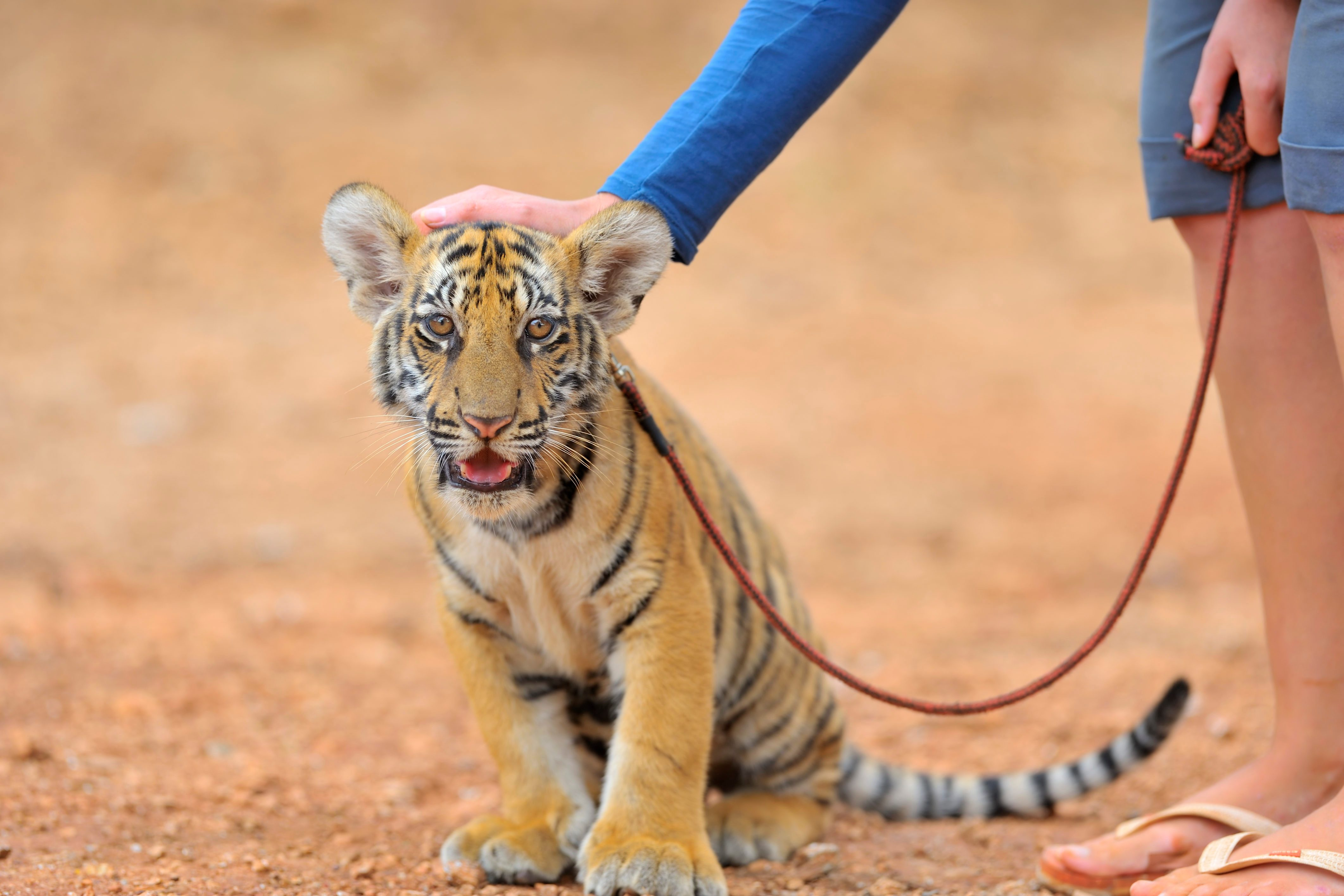 Young scared tiger cub with his trainer