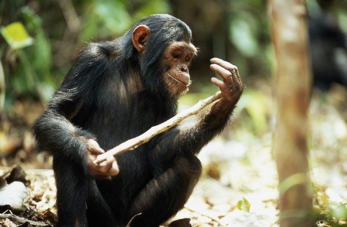 Common chimpanzee (Pan troglodytes) holding stick