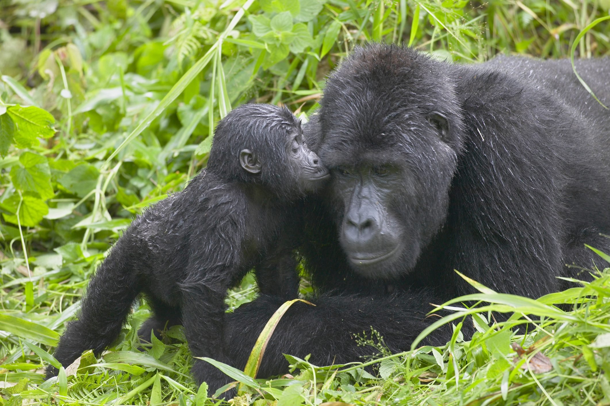 Infant Mountain Gorilla kissing Silverback male