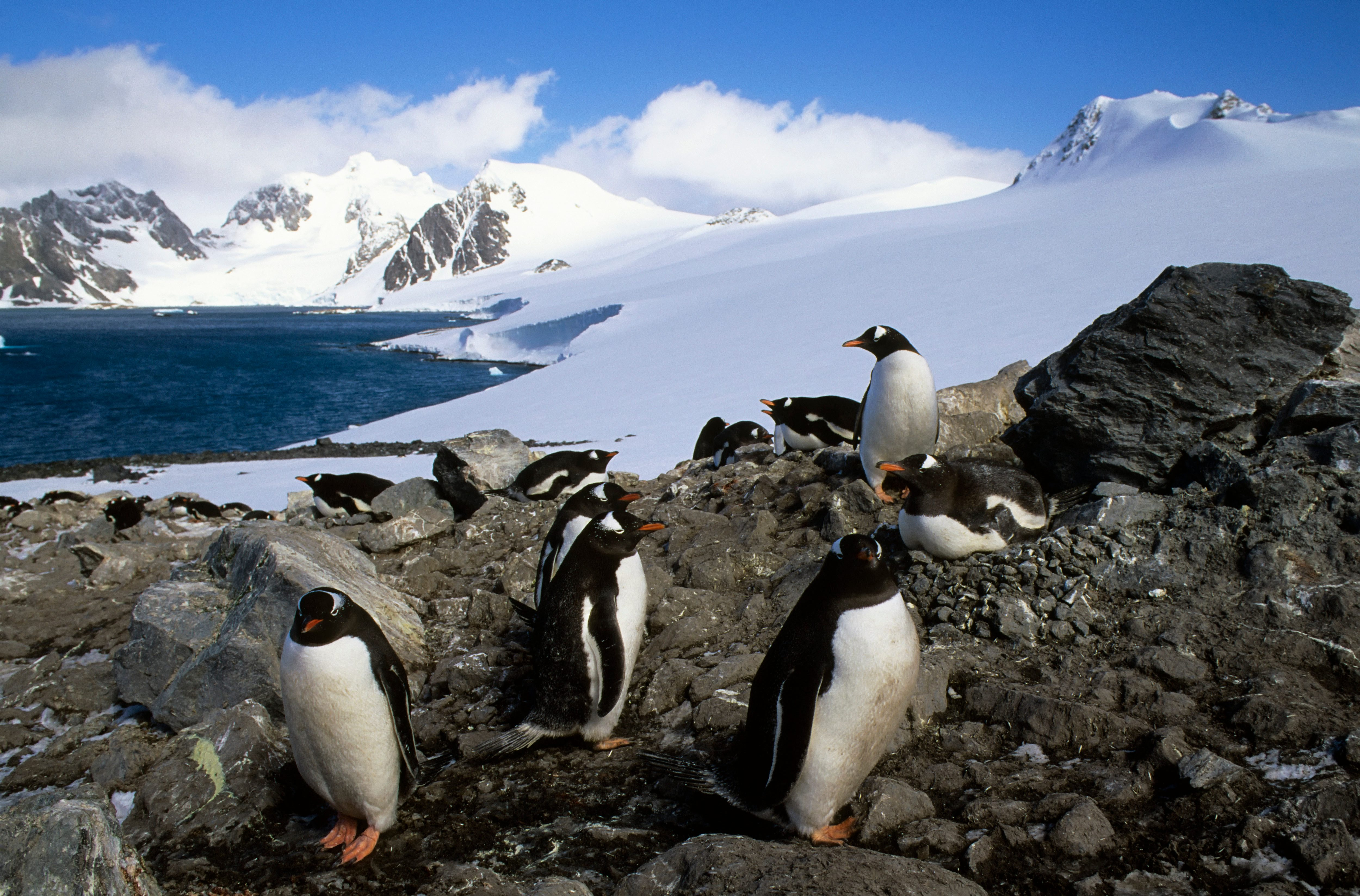 Antarctica, South Orkney Islands, Laurie Island, Gentoo...