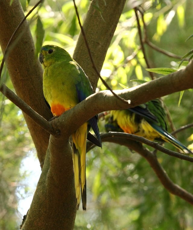 Orange-Bellied Parrot, Australia, critically endangered species